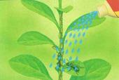 植物に群がるアリに直接散布