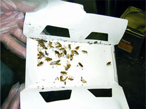 害虫駆除,不快害虫,チャバネゴキブリ,クロゴキブリ,ワモンゴキブリ,虫退治