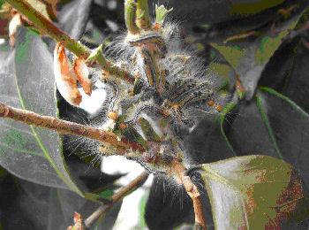 チャドクガ毒針毛固着剤 使用方法1[チャドクガ駆除,毛虫駆除,害虫駆除、対策、方法、防除]