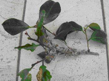 チャドクガ毒針毛固着剤 使用方法4[チャドクガ駆除,毛虫駆除,害虫駆除、対策、方法、防除]