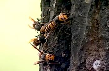 スーパースズメバチジェット 使用方法1 [害虫駆除、退治、対策、ハチ(蜂・はち)、スズメバチ、スプレー(エアゾール)、巣]